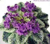 Fisherman's Paradise, African Violet Society of America | Promoting and Growing the African Violet since 1946