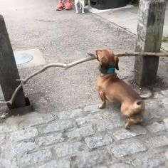 Any dogs and puppies that are cute. See more ideas about Cute Dogs, Cute puppies Tags: Dachshund Funny, Dachshund Puppies, Weenie Dogs, Cute Dogs And Puppies, Dachshund Love, Funny Dogs, Dachshunds, Funny Puppies, Doggies
