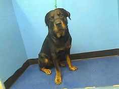 Urgent Part 2 - Urgent Death Row Dogs  Manhattan Center    BAILEY a/k/a CHARLIE - ID#A0943797    MALE, BLACK / BROWN, ROTTWEILER MIX, 1 yr, 6 mos  SEIZED - PRE RTO, HOLD RELEASED Reason OWNER HOSP   Intake condition NONE Intake Date 08/27/2012, From NY 10025, DueOut Date 08/30/2012    Medical Behavior Evaluation YELLOW   Medical Summary SCAN POS# 4B633A072C BRIGHT, ALERT, RESPONSIVE, HYDRATED PHYSICAL EXAM- Tense Mild dental taratr Intact male NOSF   Weight 85.8 Adoption Options, Rottweiler Mix, Beauty Around The World, Pet Home, Rainbow Bridge, Animal Welfare, Shelters, Big Dogs, Animal Shelter