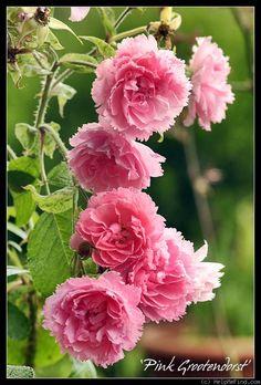 'Pink Grootendorst' Rugosa rose