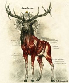 One of the most majestic anatomy illustrations we've ever seen: Kate Pfeilschiefter adds an illustrator's touch to the anatomy drawing she created for a biology class. There's a mystical touch to her noble stag, but the way she outlines the muscles only add to the creature's majesty.