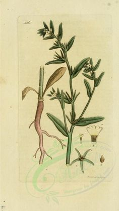 lithospermum arvense - high resolution image from old book.Size in pixels: Greek Flowers, Art Clipart, Picture Collection, Antique Art, Wall Collage, Bloom, Clip Art, Antiques, Illustration