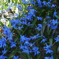 Leuchtet sogar im Schatten blau - die Blüten der Scilla siberica.
