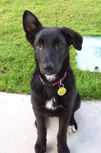 Lab and German Shepherd Mix. My future dog type! Lab Mix Puppies, Gsd Puppies, Cute Dogs And Puppies, Collie Breeds, Dog Breeds, Animals And Pets, Cute Animals, Shepherd Mix Dog, Dog Mixes