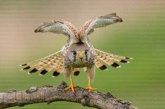 Stunning capture of a Common kestrel (Falco tinnunculus)  (900×600)      Agnes.Kiss.HidePhotography.com