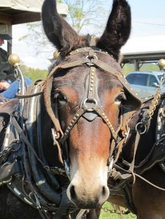 It wasn't all horses at the Draft Horse, Pony and Mule Field Day in Adams County, Ohio. There were some charming mules, like Loretta and L. Beautiful Horses, Animals Beautiful, Farm Animals, Funny Animals, Mules Animal, Draft Mule, Work Horses, Rat Terriers, Draft Horses