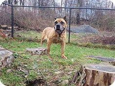 New York, NY - Presa Canario. Meet Danner, a dog for adoption. http://www.adoptapet.com/pet/14881554-new-york-new-york-presa-canario
