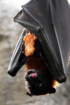 1000+ images about Bats on Pinterest | Vampire bat, Bat ...