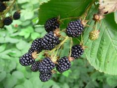 Blackberries:  Train to Trellis: http://2.bp.blogspot.com/_g3JF_PMXCkQ/TVLSpX97gKI/AAAAAAAABDk/Bf_jEVs1L-k/s1600/blackberry_trellis34a.jpg  A are the fruiting this year and B are the ones that are new for next year.