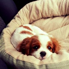 This tiny angel who must be cuddled all day long. | 19 Pictures That Prove Puppies Are Actual Rays Of Sunshine