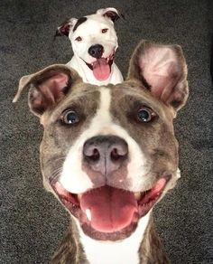 Do you have a pit bull? Then click my bio! Get your necklace! Double tap please God bless! -------------------------------------------------