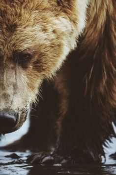 Grizzly Close up | by: { Brice Petit }