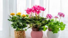 The Aldi Valentines Day plants collection comes with everything from easy-care orchids and romantic succulents, an ideal Valentine's Day gift. Moth Orchid, Yellow Roses, Houseplants, Indoor Plants, Greenery, Orchids, Eco Friendly, Planter Pots, Succulents