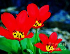 Title  Flower - Red Tulips - Luther Fine Art   Artist  Pamela Briggs-Luther   Medium  Photograph