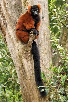 Red Ruffed Lemur by Foto Martien, via Flickr
