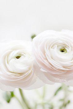 Repinned: white ranunculus.