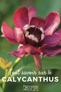 The Calycanthus or Pompadour Tree is an original shrub, very flowering and perfectly rustic. Discover its different varieties but also the advice of our experts to plant, prune and grow it in the garden. Potager Garden, Garden Planters, Herb Garden, Exotic Plants, Exotic Flowers, Diy Flowers, Flower Truck, Garden Online, Gardens