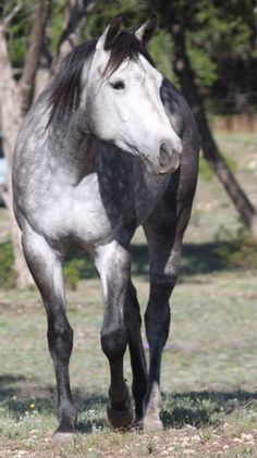 Grey Quarter Horse Filly