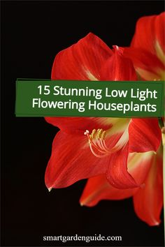 Beautiful flowering houseplants that will thrive in low light conditions. Descriptions, care tips and pictures of 15 of my favorite flowering houseplants that don't need much light at all. Easy Care Indoor Plants, Indoor Flowering Plants, Blooming Plants, Planting Fruit Trees, Low Lights, Houseplants, Gardening Tips, My Favorite Things, Dogs