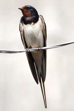 Red Throated Swallow, or Hirundo Rustica. These beautiful birds make everyday a pleasure with their flying skills!
