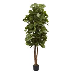 Accent your decor with this beautiful six-foot fiddle leaf fig tree. The several trunks of this tree lead to an explosion of leaves that bring the forest indoors.