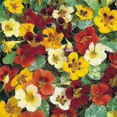 Nasturtium seeds planted on Edible flowers and leaves that taste like watercress. Perennial Flowering Plants, Garden Plants, House Plants, Perennials, Garden Seeds, Vegetable Garden, African Herbs, Shade Annuals, Spring Hill Nursery
