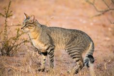 AFRICAN WILDCAT (Felis Silvestris Libyca)…a wild cat found in Africa, West & Central Asia, and Xinjiang in China…measures to inches cm) long with a inch cm) tail…weighs kg)…the ancestors of the domestic cat Small Wild Cats, Big Cats, Cool Cats, African Wild Cat, African Cats, Wild Cat Species, Sand Cat, Kinds Of Cats, Cat Facts