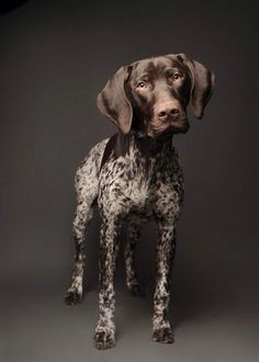 German Shorthaired Pointer - Jon and I finally agreed on a breed we want.
