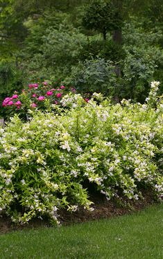 You'll enjoy fragrant white spring flowers when you have Chardonnay Pearls Deutzia in your landscape. It's deer resistant, has season long color and it's petite size makes it a nice addition to perennial gardens too.