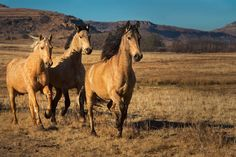 horse galloping - Google Search