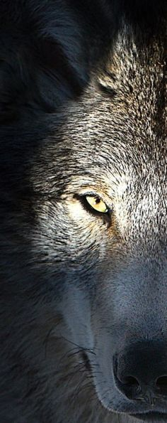 New wolf love art dogs 30 Ideas Wolf Photos, Wolf Pictures, Beautiful Creatures, Animals Beautiful, Regard Animal, Wolf Hybrid, Wolf World, Wolf Husky, Wolf Spirit Animal