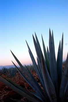 Maguey Agave Azul Tequila Jalisco Mexico by raulmacias, via Flickr