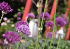 NATURKINDER: Allium