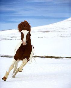 Icelandic horse, photo by Ragnar Sigurdsson on Flickr