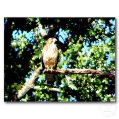 Hawk On A Limb Post Cards
