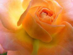 Ethereal Sunrise Captured by a Mini Rose by Mary Sedivy. Macro photography of an orange rose captures the beauty of a delicate bloom up close, in a way we seldom take the time to appreciate. Beautiful Flowers Garden, Beautiful Roses, Beautiful Gardens, Peach Flowers, Orange Flowers, Colorful Flowers, Floral Photography, Macro Photography, Rose Illustration