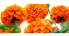 plant fundraiser site Fundraising Sites, Plant Sale, Bake Sale, Marigold, Seeds, Plants, Plant, Planets
