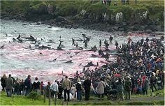 sick bastards! Stop Faroe Island Pilot Whale Hunts - ForceChange