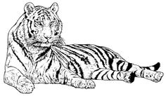 free printable tiger coloring pages for kids  beauty