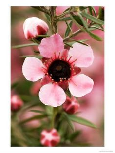 Gardening: Plant Finder - New Zealand tea tree Long White Cloud, Kiwiana, All Things New, The Beautiful Country, Garden Inspiration, Tattoo Inspiration, Activities To Do, Native Plants, Tea Tree