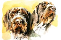 Pointer Puppies, Pointer Dog, Dogs And Puppies, German Wirehaired Pointer Puppy, Wirehaired Vizsla, Scottish Terrier, Griffon Dog, Dog Artwork, Dog Paintings