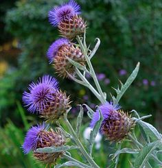 Cynara cardunculus | Fine Gardening  This is a great plant for a striking back of the border or accent plant.  Plus the stalks are edible!  Related to artichokes.