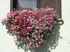 Cửa sổ cũng là một nơi lý tưởng để trồng hoa. Bạn có thể sẽ sử dụng không gian bên cửa sổ nhiều hơn ban công trên tầng cao, do vậy, hãy lựa chọn những loài hoa có mùi hương dễ chịu để mỗi lần mở cửa sổ, hương hoa sẽ ùa vào căn phòng của bạn. Còn gì tuyệt hơn việc ngồi đọc sách bên một khung cửa sổ đầy hoa, tận hưởng cảm giác yên bình trong chính ngôi nhà của mình.