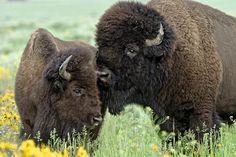 Native American Bison by Mangelsen