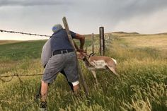 Men free antelope from barbed wire fence in Montana