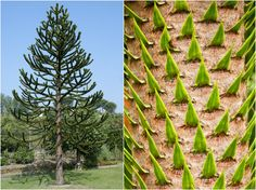 These peculiar South American evergreens are often likened to pine trees (one of their common names is the Chilean pine), but Araucaria araucana is not a true pine.