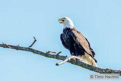 2015-04-19 Bald Eagle in Washington USA