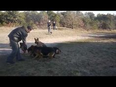 He Leaves A Pack Of German Shepherds Alone. Now Watch The Right Side Of The Screen… - LittleThings.com