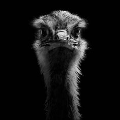Ostrich by Lukas Holas
