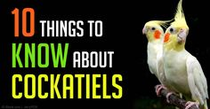 """Often called """"tiels"""" in the U.S., cockatiels are a favorite pet bird in the world. http://healthypets.mercola.com/sites/healthypets/archive/2015/02/14/cockatiel.aspx"""